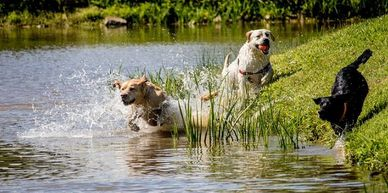 Labrador retriever's playing in water
