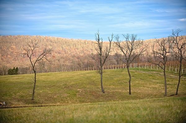 Winter scene in a vineyard