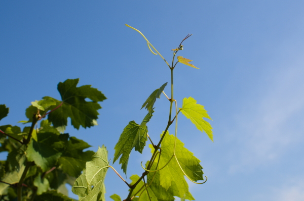 Grapevine against the sky