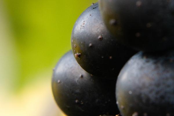 Petite Verdot grapes