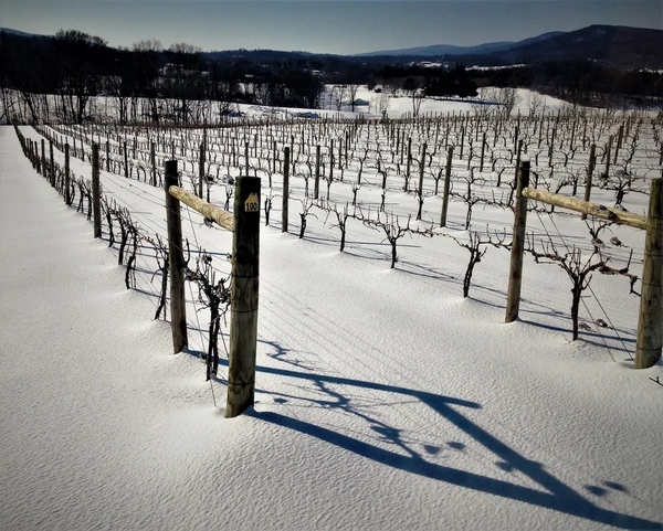 Vineyard covered in snow