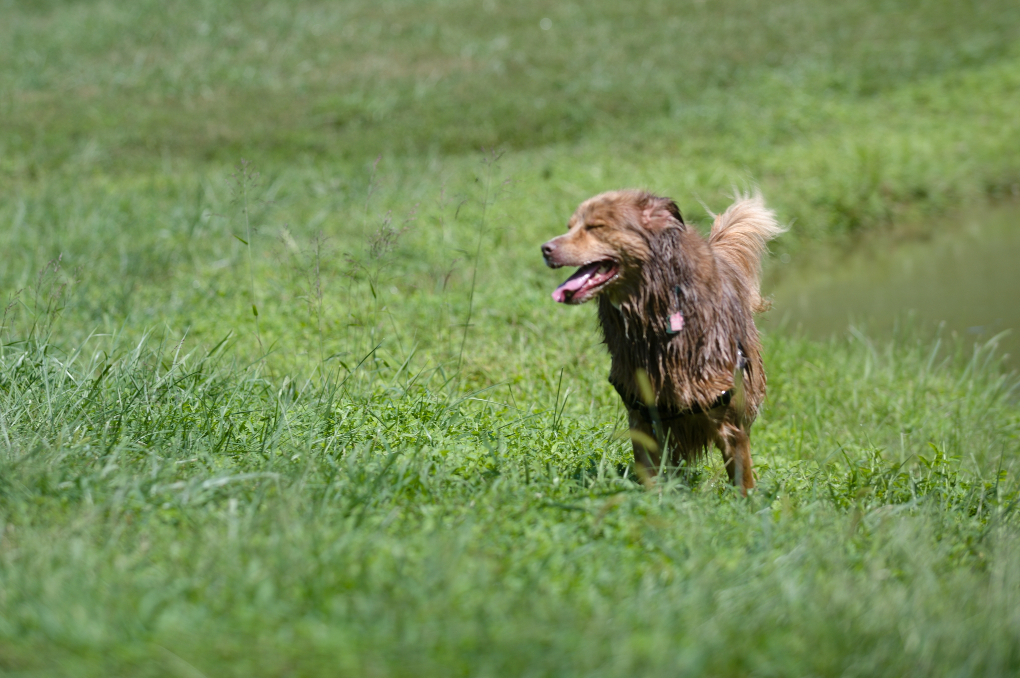 Wet dog running
