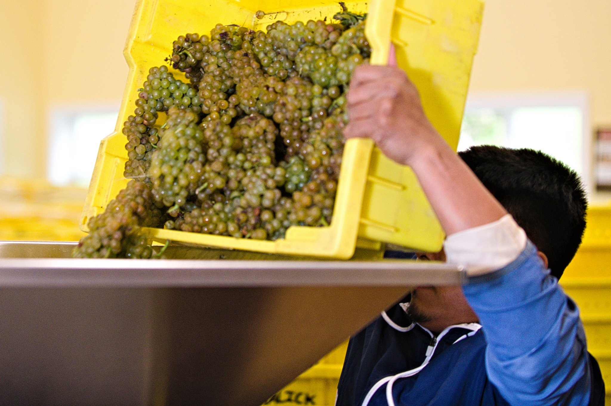 Dumping grapes in the press