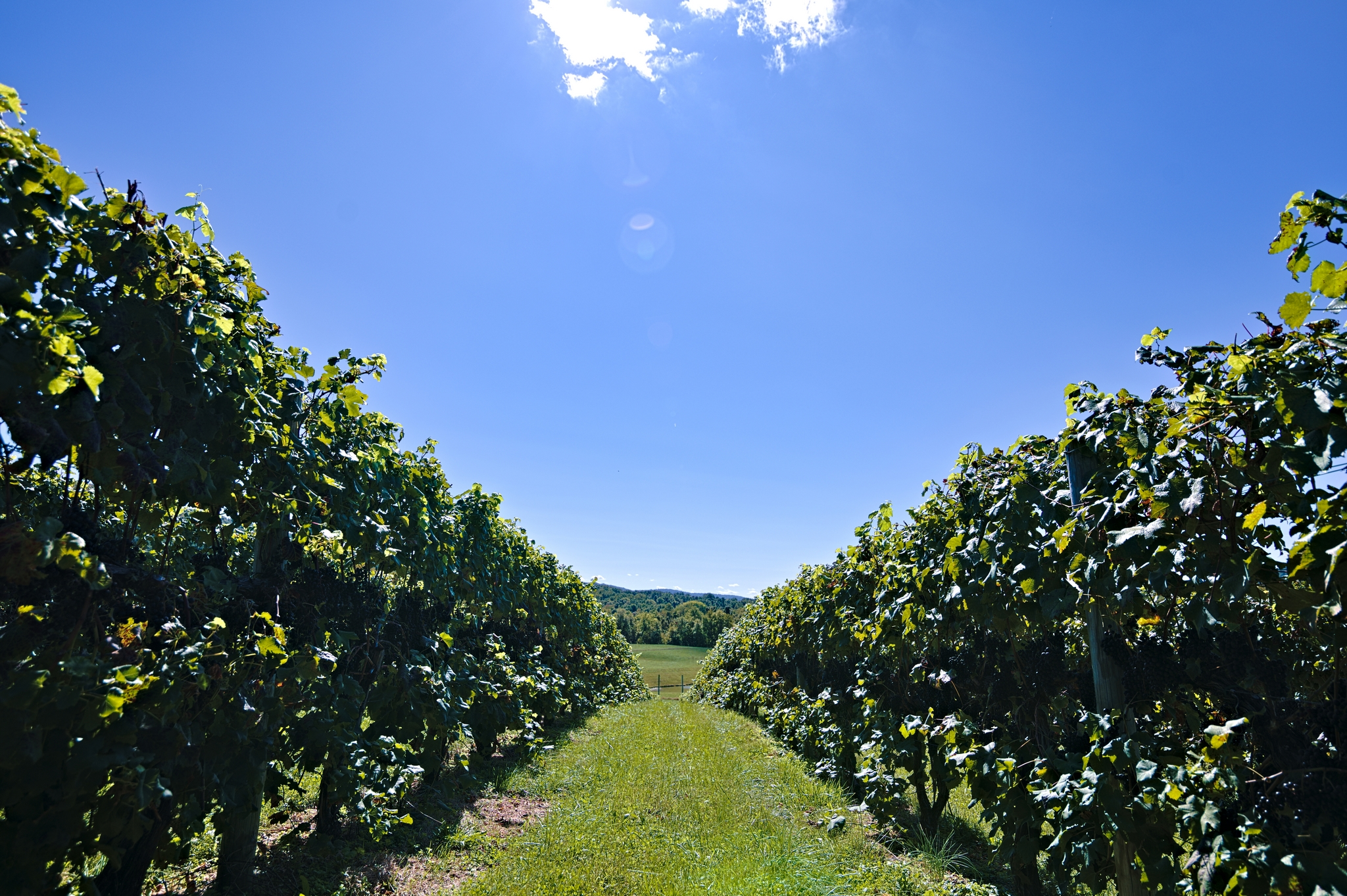 Walking through the vines