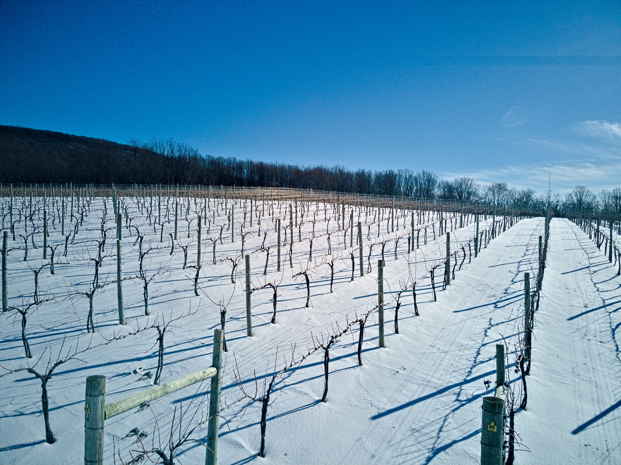 Sunny, snowy vineyard with rows of grape vines