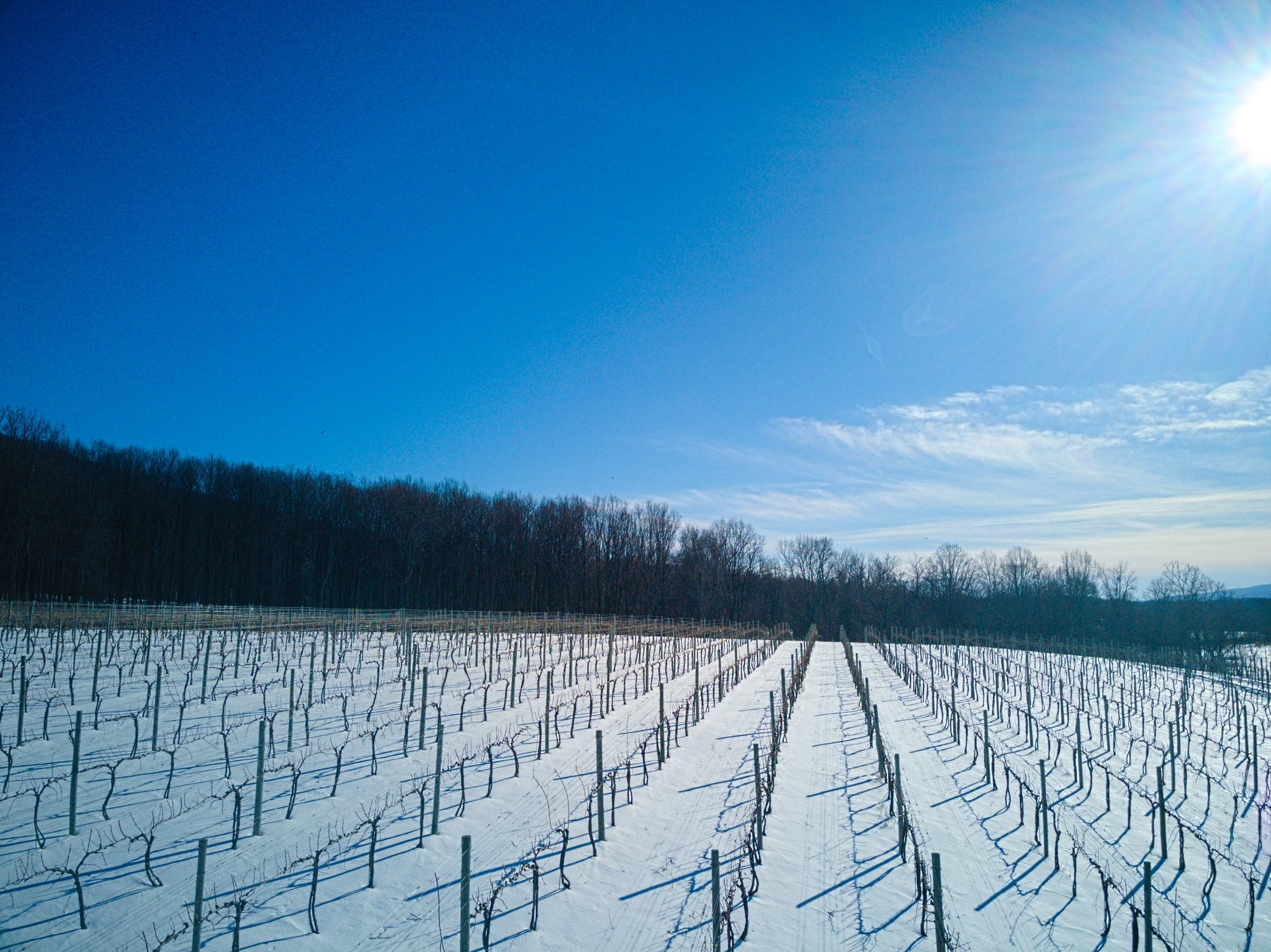 Sunny vineyard with rows of grape vines