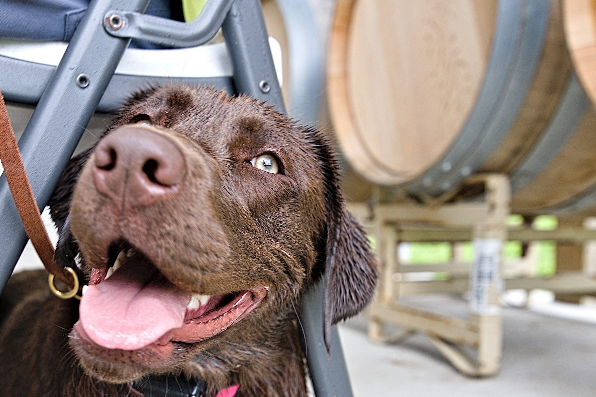 Happy lab at a winery