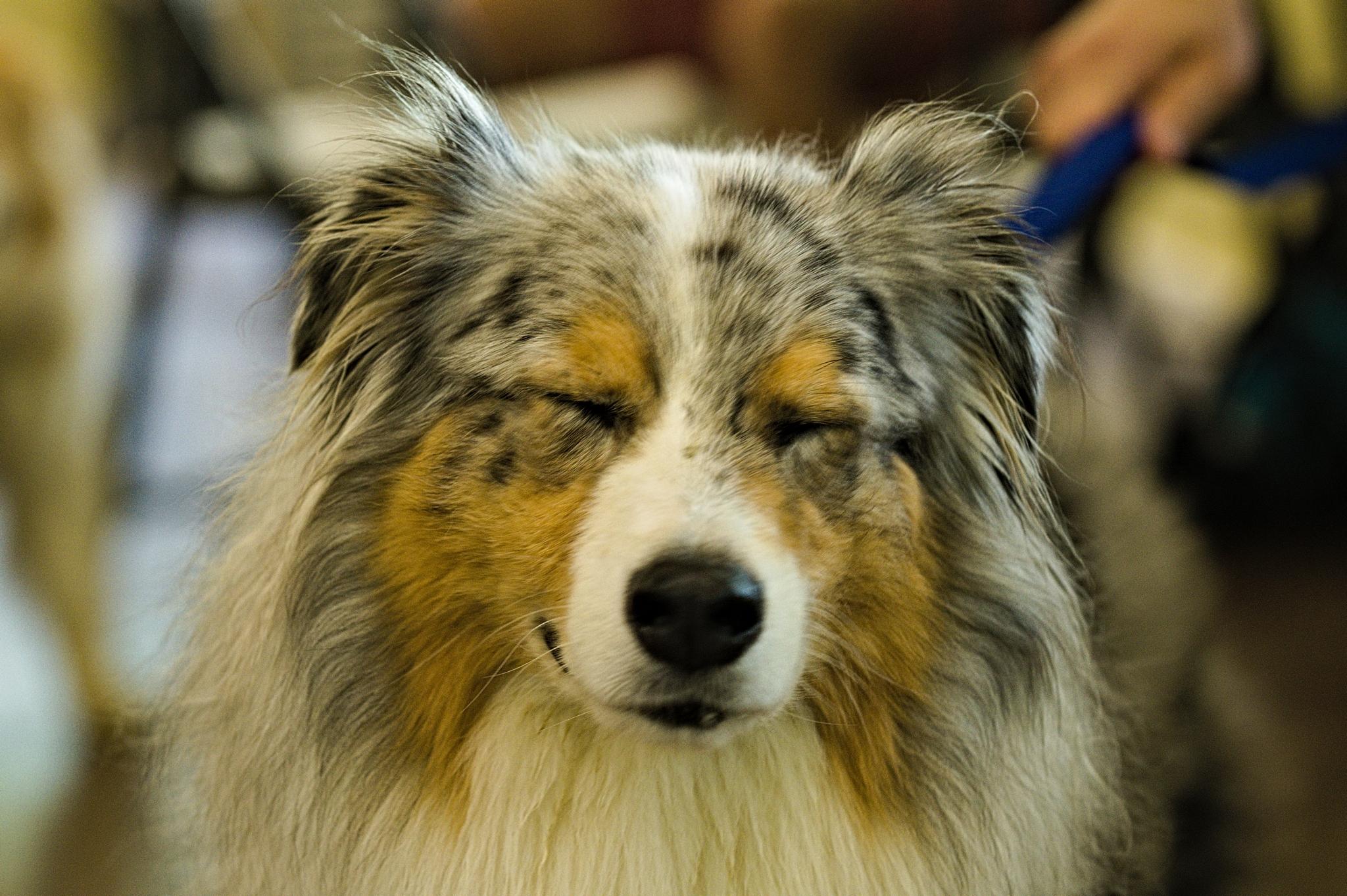 Old aussie shepherd dog